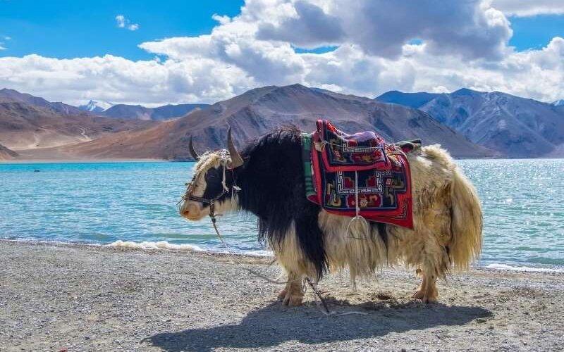 Yak at Pangong Tso - Leh Ladakh Tour